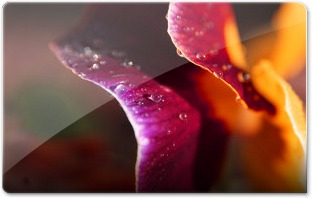 Delicate_Petals_by_lefthandgergoM