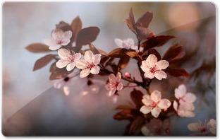 Fleurs de Prunus 24 by Jérôme BoivinM