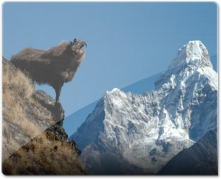 Trusty Tahr Everest